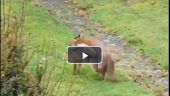 جفت گیری روباه نر با روباه ماده در حیات وحش