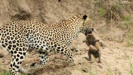 Leopard-catches-baby-warthog