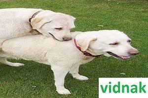زمان مناسب جهت جفت گیری سگ ها + ویدیو مبارزه