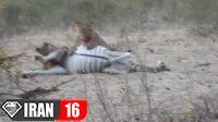 زنده دریده شدن گورخر باردار توسط شیرها