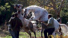 جفت گیری ناموفق اسب در مزرعه + فیلم جفتگیری اسبها