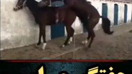 جفتگیری اسب های قهوه ای در اصطبل