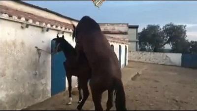 جفت گيري اسب تزیینی خوشکل برای آموزش پرورش دهندگان اسب 18+