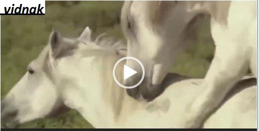 جفت گیری اسب ها در طبیعت