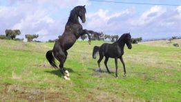 جفت گیری اسب ها را ببینید و لذت ببرید