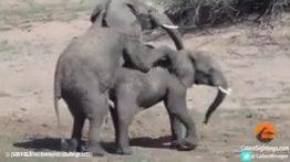 جفت گیری حیوانات ,کلیپ های حیوانات ,حیات وحش ,جفت گیری فیل