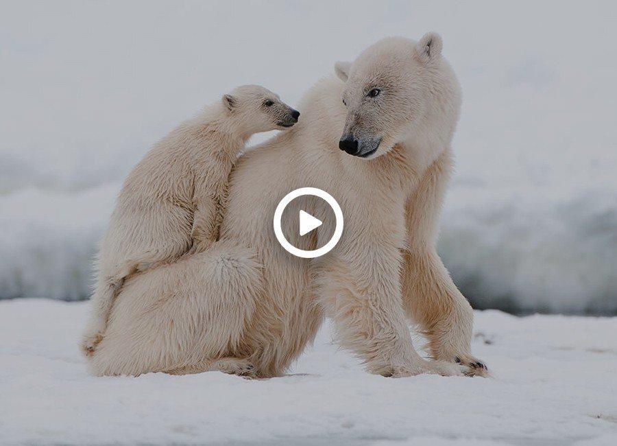 جفت گیری خرس قطبی/ جفت گیری حیوانات