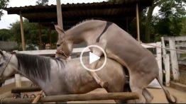 جفت گیری خر و اسب