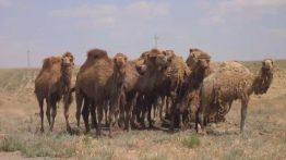 جفت گیری شتر, کلیپ جفت گیری, animals mating ,جفت گیری حرفه ای شتر ,آموزش جفت گیری شتر