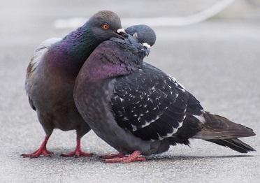 جفت گیری کبوتر نر و ماده برای تولیدمثل (زادولد)