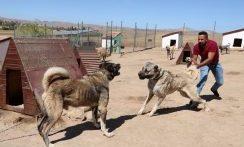 جنگ خونین سگ های کانگال با هم فیلم جنگ حیوانات