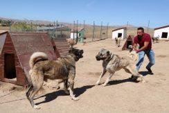 جنگ خونین سگ های کانگال با هم / فیلم جنگ حیوانات