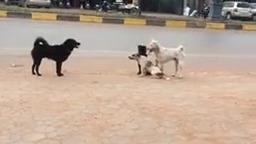درگیری سگ های خیابان برای جفت گیری