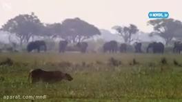 شکار گراز توسط بچه شیر