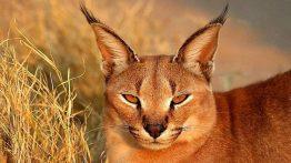 فیلم جالب درباره نحوه شکار گربه کاراکال