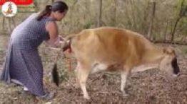 فیلم جفت گیری حیوانات – جفت گیری شتر