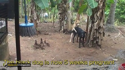 فیلم جفت گیری سگهای نر و ماده با یکدیگر / جفتگیری حیوانات اهلی
