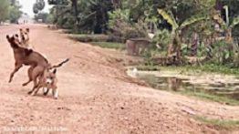 مبارزه سگ ها برای جفتگیری