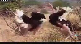 نبرد شترمرغ های نر (نبرد حیوانات)