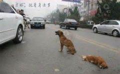 وفاداری یک سگ به جفت مرده اش وسط خیابان