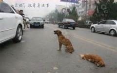 وفاداری یک سگ به جفت مرده اش