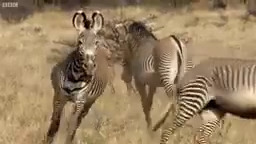 Epic Zebra Fight For Mate