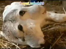 گوساله دوسر عجیب الخلقه در ایران متولد شد +18