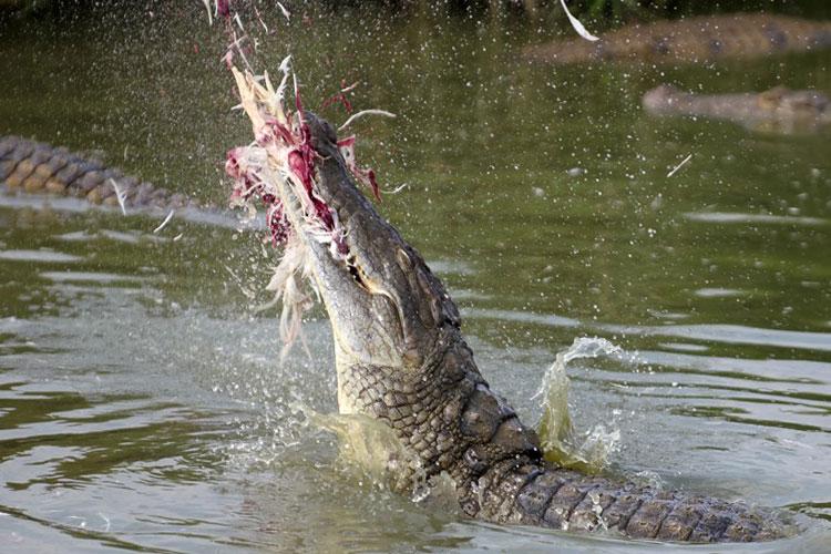 شکار پرنده از روی آب توسط کروکودیل گرسنه   فیلم