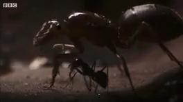 اعدام ملکه مورچه ها