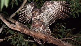 جفت گیری جغد Owl mating (2)