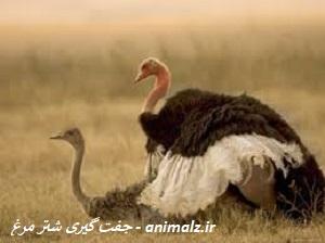 جفت گیری شتر مرغ