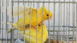 جفت گیری قناری Canary mating (2)