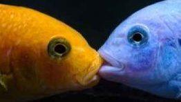 جفت گیری ماهی Fish mating روش تولید مثل ماهی (2)