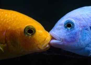 جفت گیری ماهی چگونه است؟