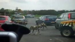 حمله سگ های وحشی به ماشین گردشگران
