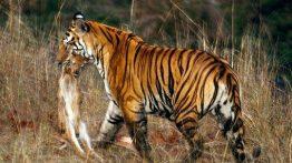 شکار-حیوانات-توسط-ببر