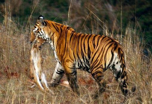 خفن ترین شکار حیوانات توسط ببر در حیات وحش