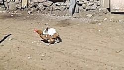 عکس جفتگیری خرگوش,عکس جفتگیری مرغ (1)