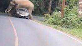 جفت گیری فیل با ماشین