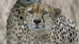 شکار شترمرغ توسط یوزپلنگ