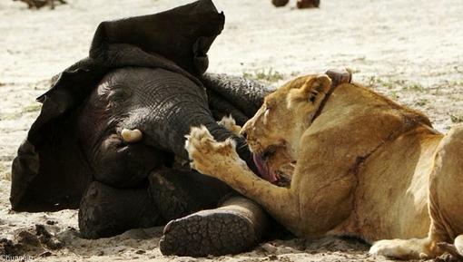 شکار فیل توست شیر