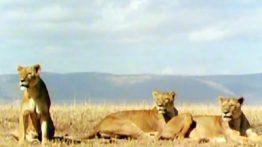 فیلم بیرحمی و شکار ، توسط دسته ای از شیرها ی گرسنه (2)