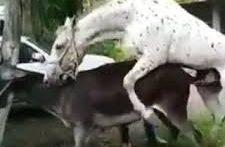 فیلم جفت گیری الاغ ها در مزرعه Ass mating on the farm – donkey (1)