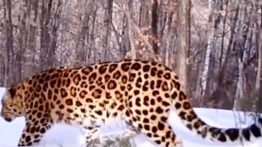 Beautiful pictures of the rare Amor tiger and leopard
