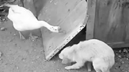 Funny puppy fight with duck