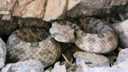 Perisan Horned Viper