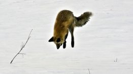 Polar fox dive for mouse hunting
