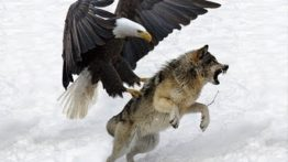 Spectacular moment of eagle attack on snow wolf