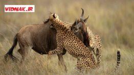 جنگ و شکار حیوانات
