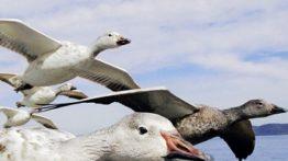 جوجه غاز وحشی Wild goose chickens